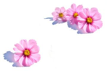 コスモスの花 白バック