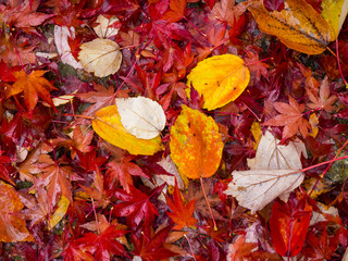 autumn leaves are combine with yellow,red,white,green,orange colour for the season change end of year before winter coming.