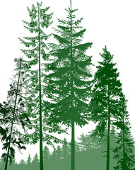 fir trees green group in forest on white