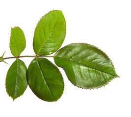 leaves of the walnut tree isolate