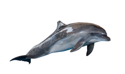 grey common bottlenose dolphin on white