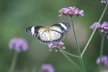 Neozoischer exotischer Schmetterling in Deutschland