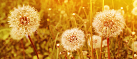 Foto op Canvas Paardenbloem Dandelion close up on natural background. Sunset summer meadow with dandelion flowers