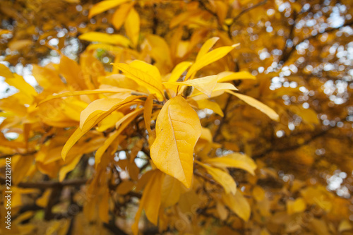 A Beautiful Autumn Yellow Leaves Magnolia Tree In The Botanical