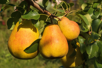Ripe pears on a tree; summer time, natural light.