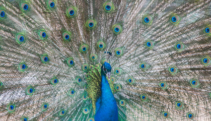peacock male with green and blue tail