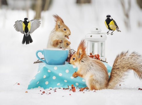 Two squirrels and blueberries eat nuts and cups in the winter forest.