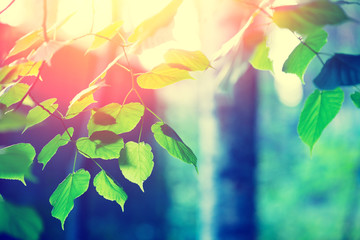 Birch branches with green leaves, natural spring background with sunlight. Selective focus
