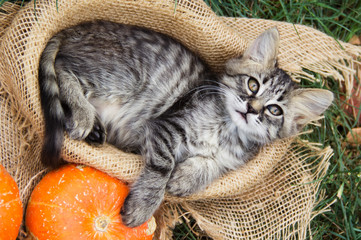 Small cat lies in basket. Cat and pumpkins. Cat and Autumn