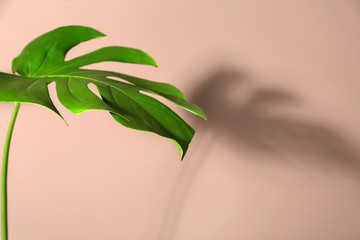 Wall Mural - Fresh tropical leaf on color background