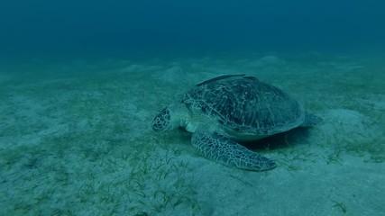 015 Green Sea Turtle Eats Grass On The Bottom Chelonia Mydas Close Up
