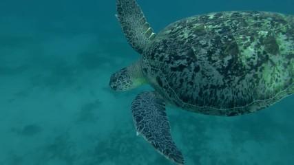 006 Green Sea Turtle Swim To The Surface Of Water Chelonia Mydas Low Angle