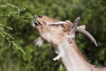 Farm animal concept - funny goat eating plant - profile image
