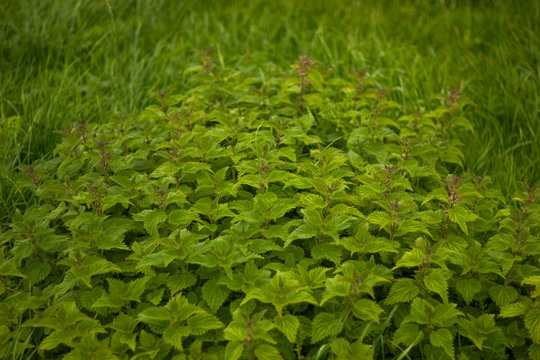 flowering wild mint