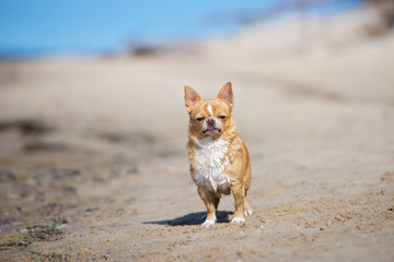 funny chihuahua dog standing on the beach