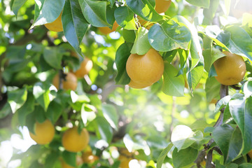 果樹園の梨