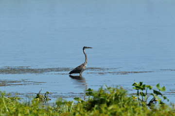Great Blue Heron at Emiquon 0224