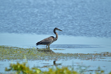 Great Blue Heron at Emiquon 0281
