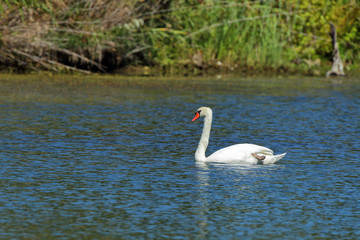 Mute Swan 0640