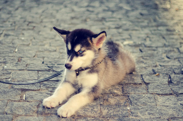 Puppy dog Husky breed. Portrait of an animal on the street