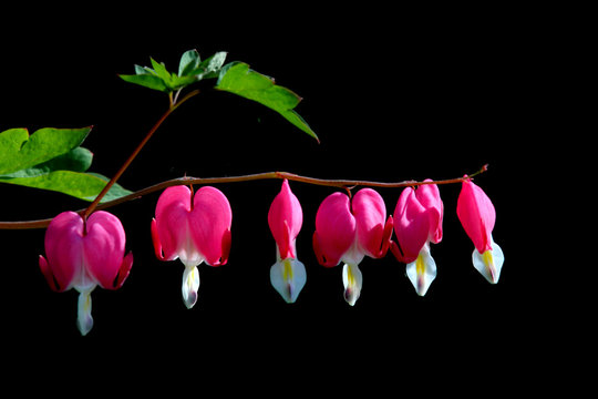 Pink bleeding heart flowers on black background