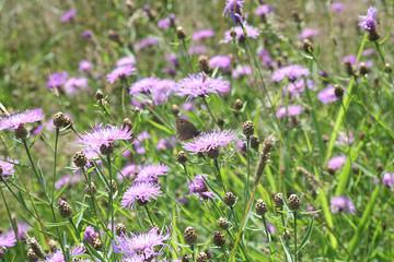 blühende Blumenwiese mit Schmetterling