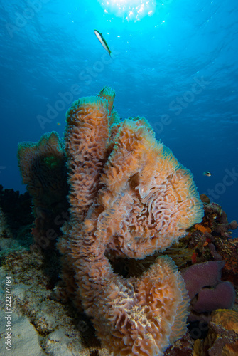 Azure Vase Sponge Callyspongia Plicifera Stock Photo And Royalty