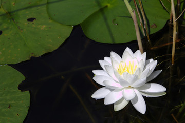 Close Up of White Water Lotus With Yellow Center Surrounded By Green Lily Pads In Dark Pond Water