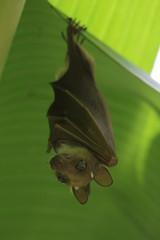 Bat in the shadow of banana