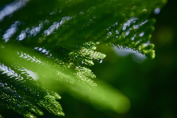 Bokeh of Pine leaves on Green background