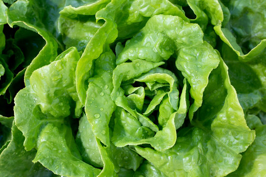 Closeup of Boston lettuce growing in a garden. From above.