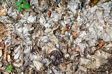 Rotted leaves on the ground