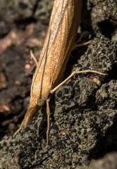 podłużny brązowy owad z rodziny Crambidae