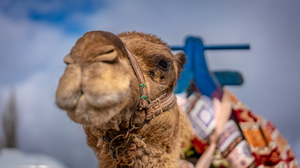 Camel's Face Portrait