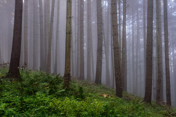Dense Fog in the Forest. Foggy Morning in the Pine Forest.