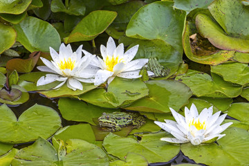 Authentic, natural water lilies and frogs in the pond