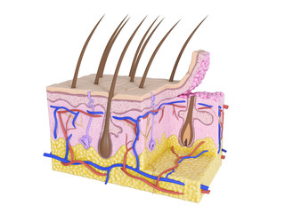 3d rendered medically accurate illustration of the human skin