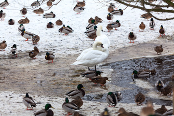 Waterfowl birds as ducks and white swans are on snow near open unfrozen pond