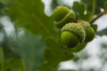 Green acorns on oak