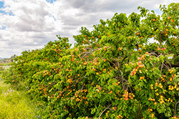 Many apricots grow on a tree in the garden.
