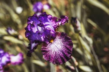 Iris aux pétales violettes
