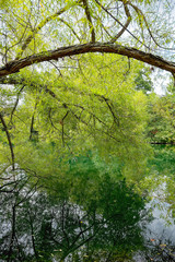 Lush green leaves reflecting in the lake