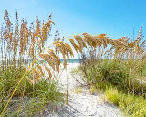 Golden sea oat crossing the beach path