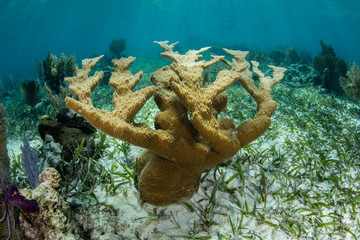 Healthy Elkhorn Coral Colony in Caribbean Sea