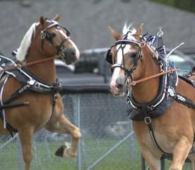 Harness horses at the fair