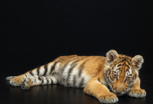 Young Tiger Isolated  on Black Background in studio