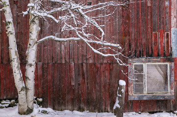 Snow covered birch tree and a red barn.