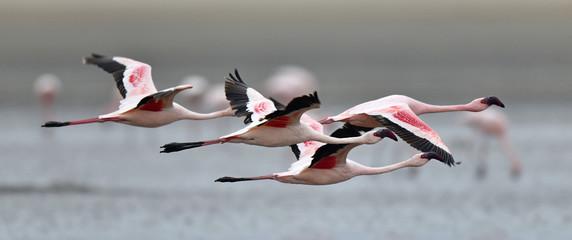 Flamingo& 39 s tijdens de vlucht. Vliegende flamingo& 39 s over het water van Natron Lake. Kleinere flamingo. Wetenschappelijke naam: Phoenicoparrus minor. Tanzania.