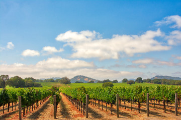 Garden Poster Vineyard Vineyard with Oak Trees and Clouds., Sonoma County, California, USA