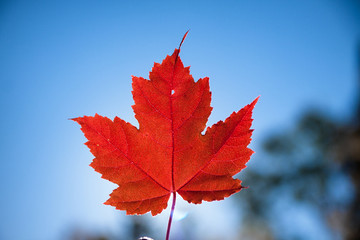 Red Maple leaf against sky